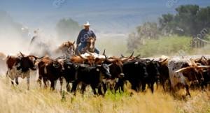 cow-herd