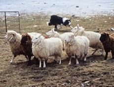 Drumlin Farm Sheep Shearing