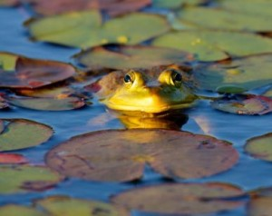 amphibian norfolk
