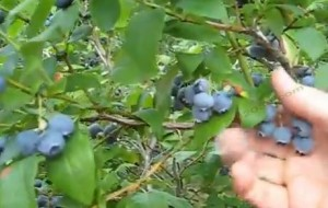Blueberry Franklin MA Gianetti's U-Pick